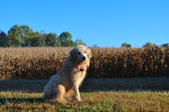 Large Wet Farm Dog Royalty Free Stock Image