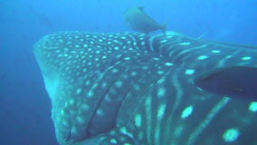 Large whale shark on background underwater landscape of Galapagos Islands. Swimming in world of colorful beautiful wildlife of corals reefs. Inhabitants in stock video footage
