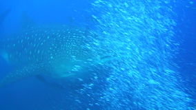 Large whale shark on background underwater landscape of Galapagos Islands. Swimming in world of colorful beautiful wildlife of corals reefs. Inhabitants in stock footage