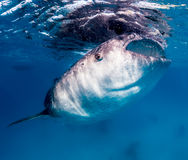 Large whale shark feeding near the surface Royalty Free Stock Photos