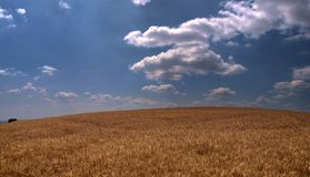 Large wheat field. A background of a large wheat field stock photo