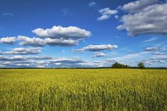 A large wheat field under a blue sky with clouds. stock images