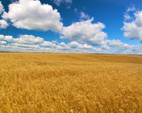 Large wheat field under blue sky and clouds Stock Images