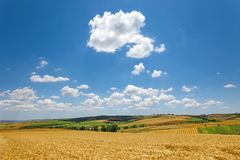 Wheat filed with cloudy sky. Large wheat filed with cloudy blue sky. calm country landscape royalty free stock images