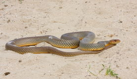 Large whip snake Stock Photo