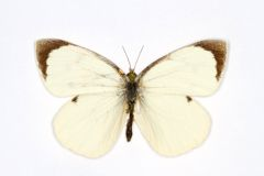 Large White Stock Photography