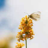 Large White. A large white butterfly sits on the yellow blooms of a butterfly bush royalty free stock photo