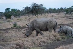 Large white african rhino with baby. SweetWater, Kenya. Large white rhino with baby. SweetWater, Kenya stock photography
