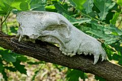 White animal skull on a branch with green leaves. Large white animal skull on a branch with green leaves stock photos
