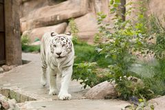 Large, white, Bengali tiger walks along the path in contact zoo royalty free stock images