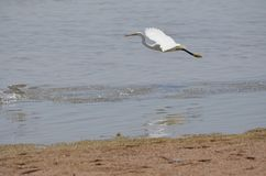 Large white Bird chasing fish in sharm el sheikh Royalty Free Stock Photos