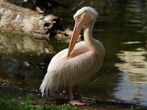 Large white bird pelican on shore of the pond, near the water, beak feathers, Africa. Large white bird pelican on the shore of the pond, near the water, beak Royalty Free Stock Images