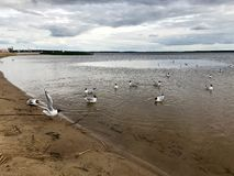 Large white birds gulls on the sandy beach of the river bank, the lake is floating in the water stock photo