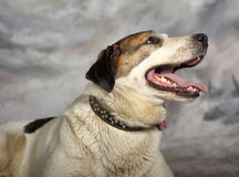 Large white with black and red mongrel dog in studio on a winter background Stock Photography