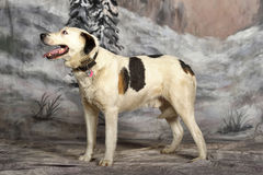 Large white with black and red mongrel dog in studio on a winter background Stock Photo