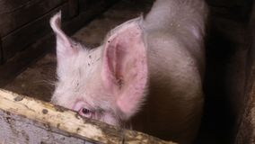 The boar in the paddock. Large white boar in the paddock on a rural farm stock video footage