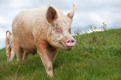 Large white boar pig Royalty Free Stock Image