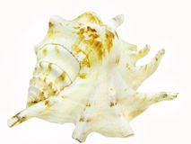 Large white and brown seashell. White and brown spotted sea shell lambis isolated Stock Photography