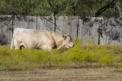 A large white bull Royalty Free Stock Photo