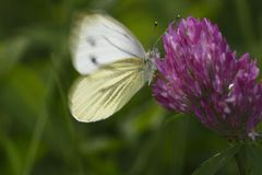 Large white buttefly Royalty Free Stock Photos