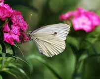 Large White butterfly royalty free stock photo
