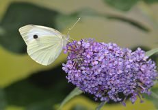 Large White Butterfly Stock Photos