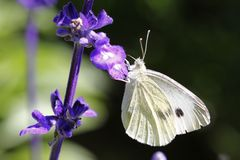 Large white butterfly Royalty Free Stock Photos