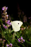 Large White Butterfly. Image of a common Large White Butterfly (Pieris Brassicae) extracting nectar from a lavender flower Stock Image