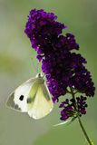 Large white on Butterfly bush Stock Image