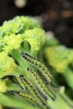 Large White Butterfly Caterpillars on Broccoli Plant