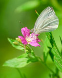 The large white butterfly on the flower hairy willow-herb. The large white butterfly (Pieris brassicae) on the flower hairy willow-herb (Epilobium hirsutum stock images