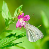 The large white butterfly on the flower hairy willow-herb Royalty Free Stock Photo