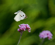 Large White Butterfly flying Stock Images