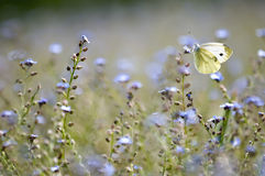 Large white butterfly in a forget-me-not field Stock Photography