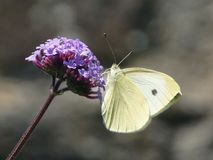 Large White Butterfly Stock Image
