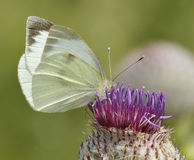 Large White Butterfly - Pieris brassicae Stock Photo