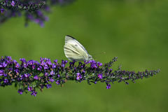 Large White Butterfly (Pieris brassicae) Stock Photos