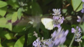Large white butterfly Pieris Brassicae stock footage