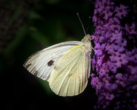 Large white butterfly (Pieris brassicae) on Buddleia butterfly flower Royalty Free Stock Image