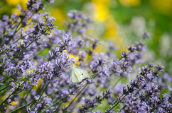 Large white butterfly (Pieris brassicae) in the flowers Royalty Free Stock Images