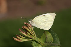 Large white butterfly, Pieris brassicae Royalty Free Stock Images