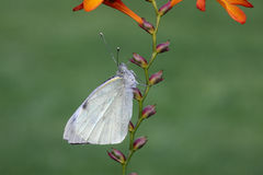 Large white butterfly, Pieris brassicae Stock Image