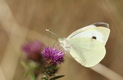 A pretty Large White Butterfly Pieris brassicae nectaring on a pretty Knapweed flower Centaurea nigra. A Large White Butterfly Pieris brassicae nectaring on a royalty free stock photos