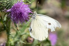 Large White Butterfly On Thistle. A large white butterfly resting on a thistle Royalty Free Stock Photography