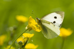 Large white butterfly on yellow flower. In backlight royalty free stock image