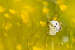 Large white butterfly on yellow flower. In backlight stock image