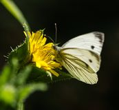Large White Butterfly on Yellow Wild Flower. Large White Butterfly perched on a yellow Wild Flower in a park in Essex Stock Photo