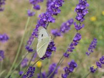 The large white cabbage butterfly, cabbage white, sitting on lavender, Lavandula angustifolia, sucking nectar, green royalty free stock photos