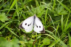 Large white cabbage butterfly or Pieris brassicae. In a green summer grass royalty free stock image