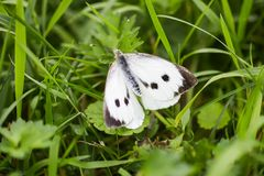 Large white cabbage butterfly or Pieris brassicae. In a green summer grass royalty free stock images
